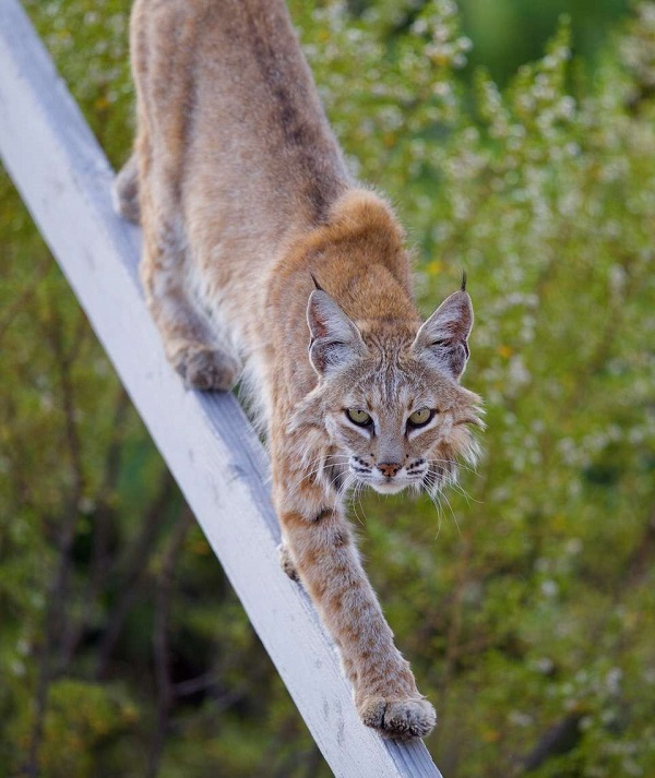 Mama Bobcat at the ASV
