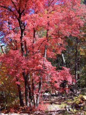 maples in Cave Creek Canyon