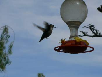 Humming Bird on Feeder