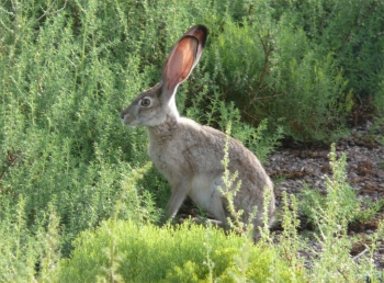 Jack Rabbit in Lush Vegetation