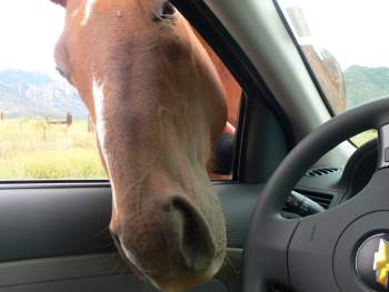 Horse in car window