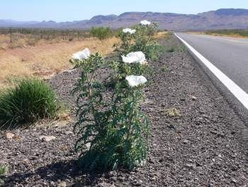 roadside flower